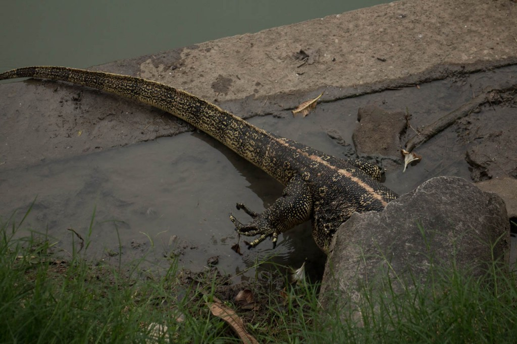 This type of lizards can be as tall as a crocodile. They move freely in the cities.