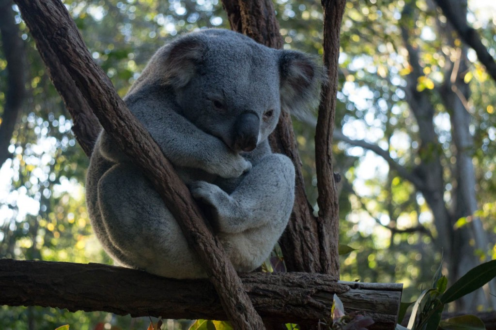 Koalas, they stink, don't do anything else than sleeping and eating. They're boring as fuck.  But they're so cute <3 Look at him!