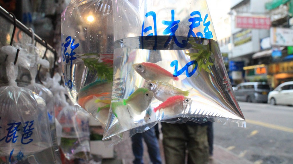 Fishes in plastic bags and other animals are available at different markets and shops in the Mong Kok district.
